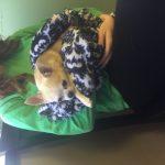 Chihuahua Paralysis