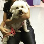 Bichon With Luxating Patella