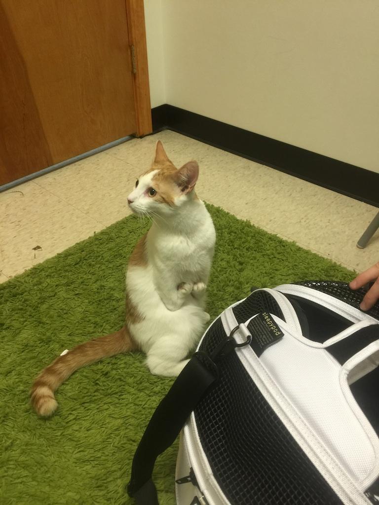 Kitten Radial Hypodysplasia