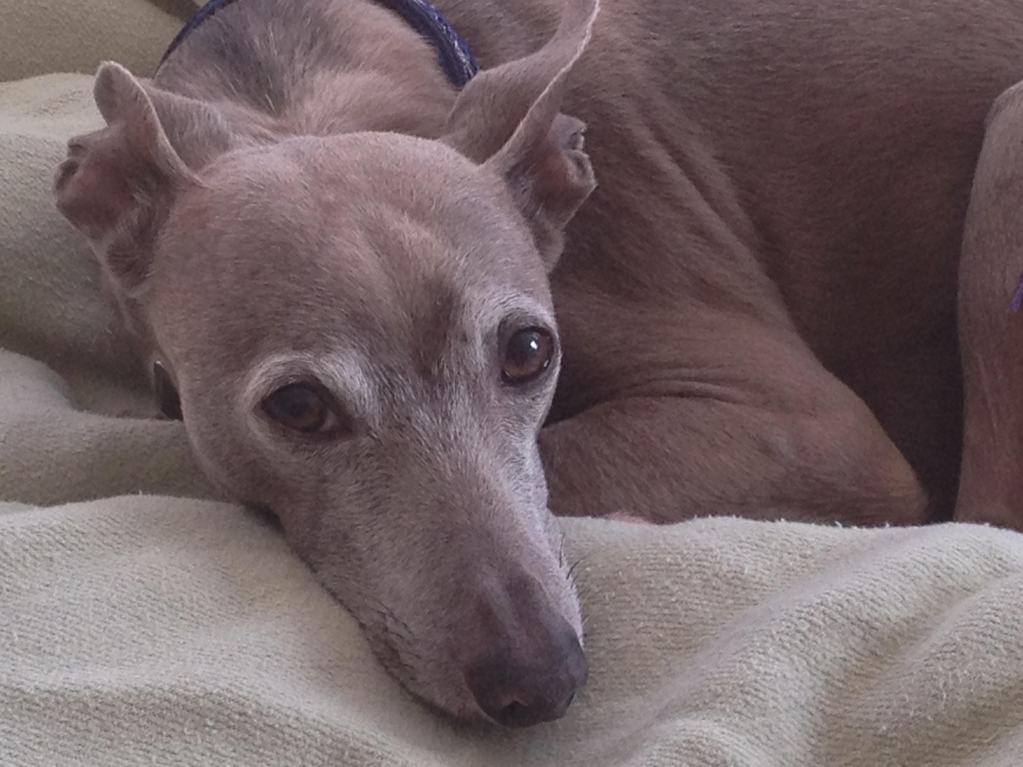 Greyhound & Arthritis