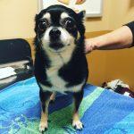 Chihuahua Cruciate Tear