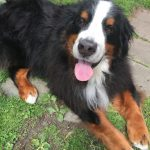 Arthritis In Older Dogs