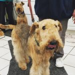 Airedale and Arthritis